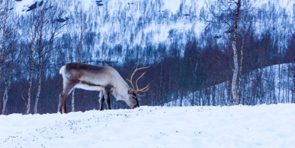 A Caribou on the snow, a bare forest in the background